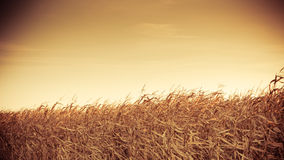 Corn field at the sunset Stock Photography