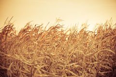 Corn field at the sunset Royalty Free Stock Images