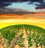 Corn field at sunset. Stock Photography