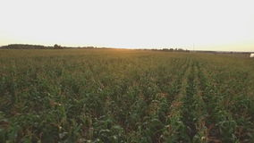 Corn field at sunset stock video footage