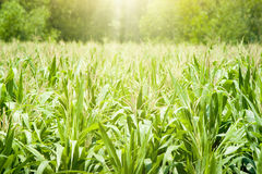 Corn field in sunset Royalty Free Stock Image