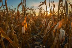 Corn field at sunset. In harvesting season Stock Image