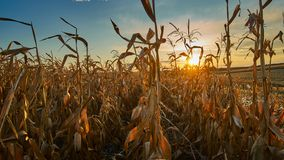 Corn field at sunset. In harvesting season Royalty Free Stock Photos