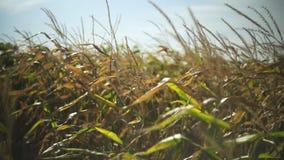 Corn field in sunset. 4k stock video footage