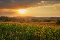 Corn field at sunset Stock Image
