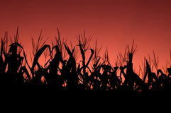 Corn field at sunset - red sky Stock Image