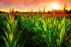 Corn field at sunset. Rows of fresh corn plants on a field with beautiful warm sunset light and vibrant colors Royalty Free Stock Photography