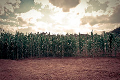 Corn field with sunset style Stock Images