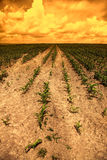 Corn field in the sunset Royalty Free Stock Photography