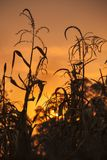 Corn on field at sunset Royalty Free Stock Photo