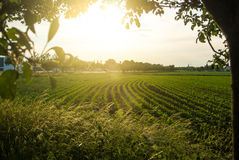 Corn field and a sunset, a view from an apple tree near the road. Walldorf, Germany royalty free stock image