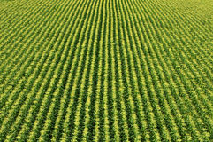 Corn Field/Sweetcorn Field. Field of corn in flower captured from the air Royalty Free Stock Photo