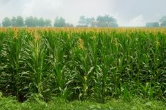 Corn field with tassels. A verdant green cornfield in central Florida with misty horizon.  Alternate energy source Stock Photos