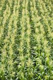 Corn field in Thailand Stock Images