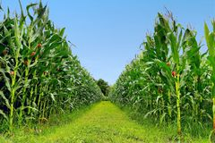 Corn field. In Thailand Stock Photos