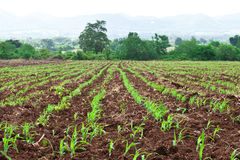 Corn field in Thailand Royalty Free Stock Image