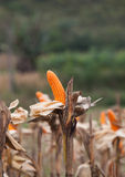 Corn on the field in time of harvest. Concept of agriculture industry Stock Photos