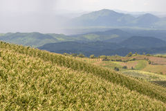 Corn field on top mountain with raining Stock Photo