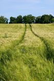 Corn field with tractor tracks Royalty Free Stock Photography