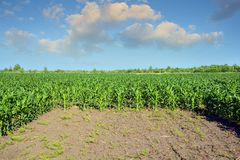 Corn field. Corn field treated with chemicals for the destruction of weeds.  Stock Photo
