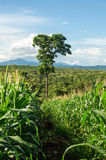 Corn field and tree in farmland on plateau,Thailand Royalty Free Stock Images