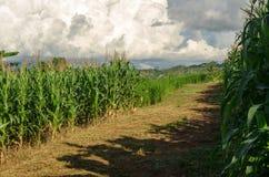 Corn field and tree in farmland on plateau,Thailand Stock Photo