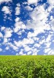 Corn field under blue sky royalty free stock photo
