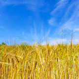 Corn field under blue sky Royalty Free Stock Photos