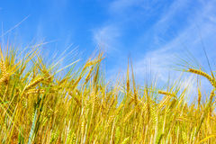 Corn field under blue sky Stock Photos