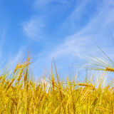 Corn field under blue sky Stock Photo