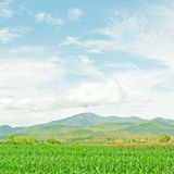 Corn field under blue sky Stock Image