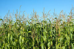 Corn field under clear blue summer sky Royalty Free Stock Photography