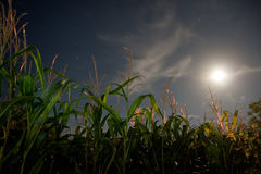 Corn field under the moonlight Royalty Free Stock Photo