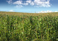 Corn field under summer sky with clouds Stock Photography