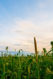 Corn field under sunset Royalty Free Stock Images