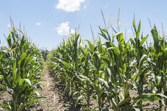 Corn field with unripe cobs in the stalk Stock Photo