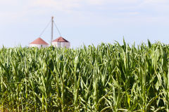 Corn field in the USA. Corn field with silo in the background in Arizona, USA Royalty Free Stock Photos