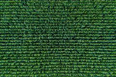Corn field view from above. Green corn sprouts in a rows. Pattern of maize field stock photography