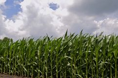 Corn Field Vista Stock Images