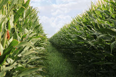 Corn Field. Wall of corn plants at a farm Royalty Free Stock Photography