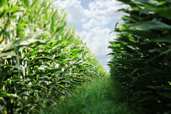 Corn Field. Wall of corn plants at a farm Stock Photography