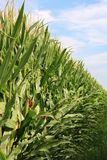 Corn Field. Wall of corn plants at a farm Royalty Free Stock Photo
