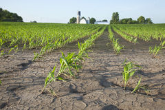 Corn field with water damage Royalty Free Stock Photo