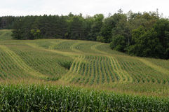 Corn field wavy pattern Stock Image