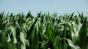 Corn field at wind on sunny spring day stock video