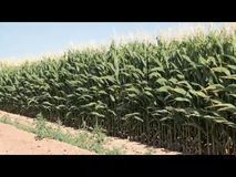Corn Field On A Windy Day stock video footage