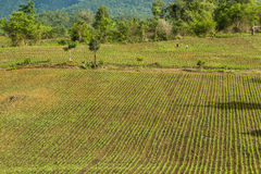 Corn field. Yang corn field in Chiangmai northern of Thailand Royalty Free Stock Photo