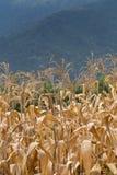 Corn field Stock Photos