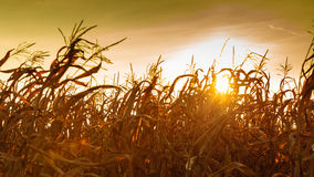 Corn field at the yellow sunset Royalty Free Stock Photos