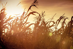 Corn field at the yellow sunset Royalty Free Stock Image